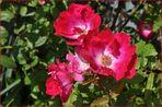Blütezeit der Rosen (7)