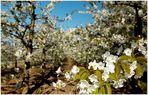Blütezeit im Alten Land
