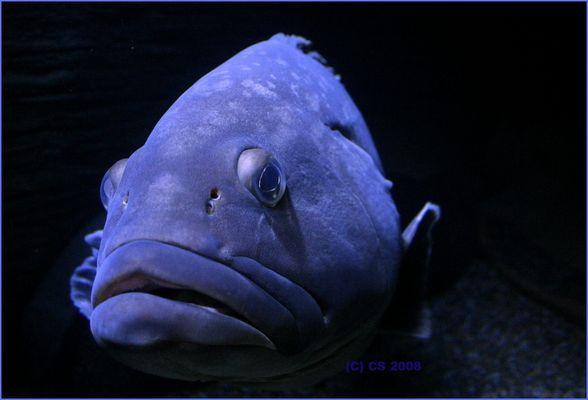 Blufish