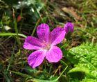 Blume 5