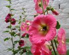 Blume Altea Rosata