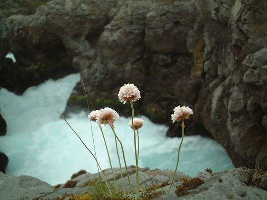 Blume am Barnafoss