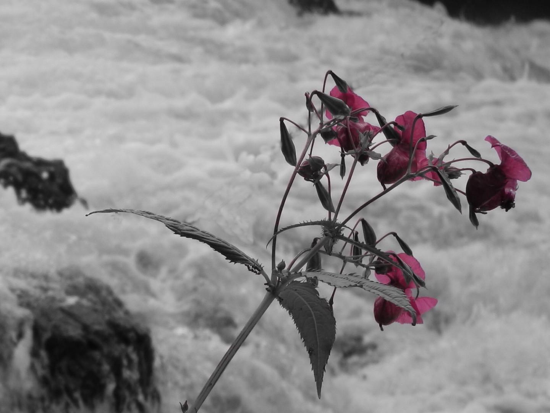 Blume am Wasser