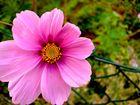 Blume am Zaun