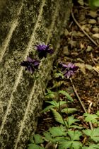 Blume an der Mauer