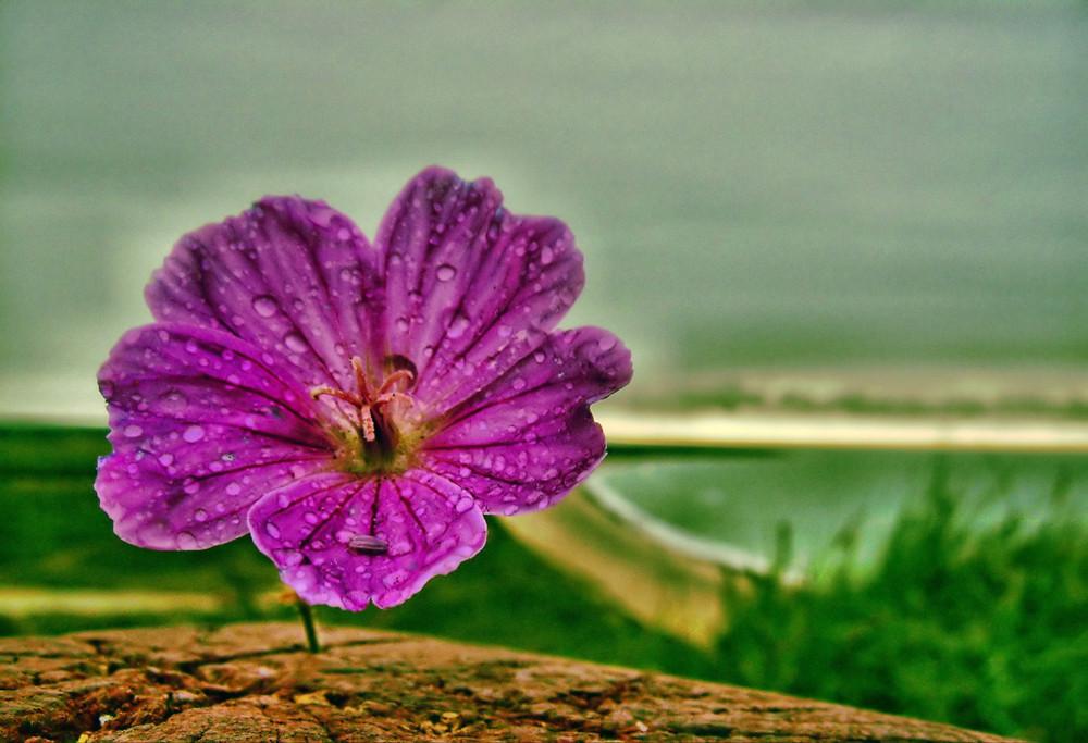 Blume auf Bulbjerg
