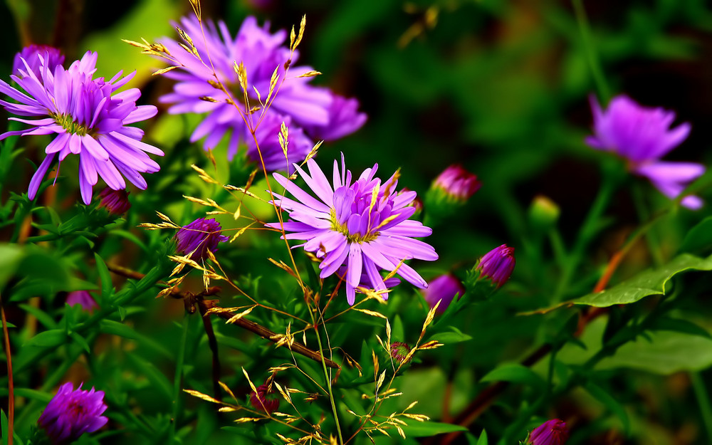 Blume aus dem Moor. Herbstaster