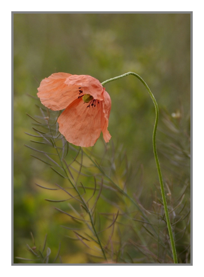 Blume aus den Masdünen