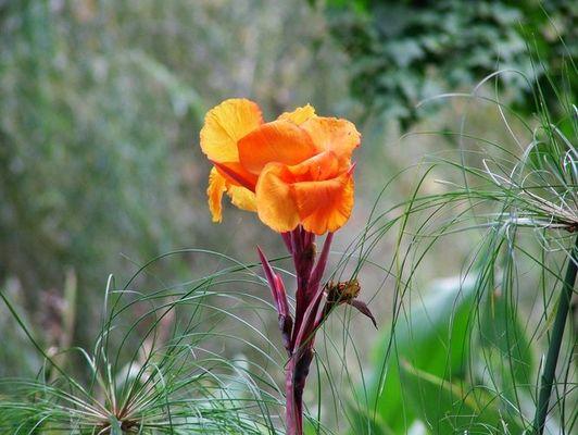 Blume aus der Weinregion Kapstadt