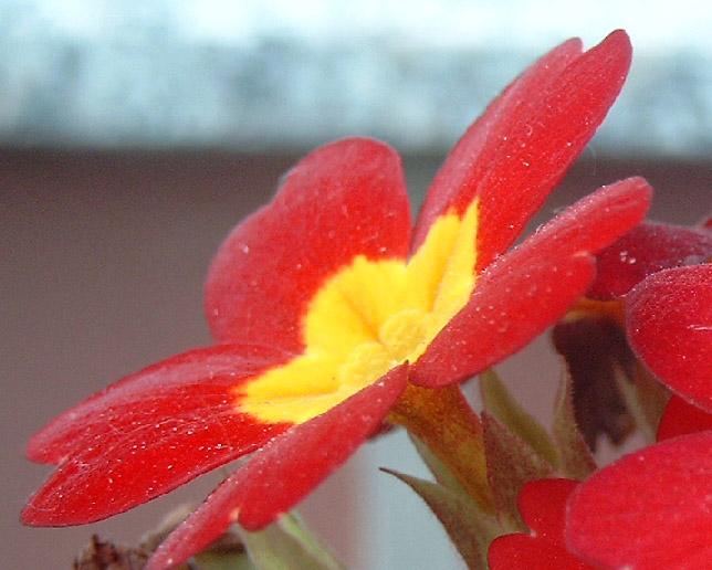 Blume aus´m Garten
