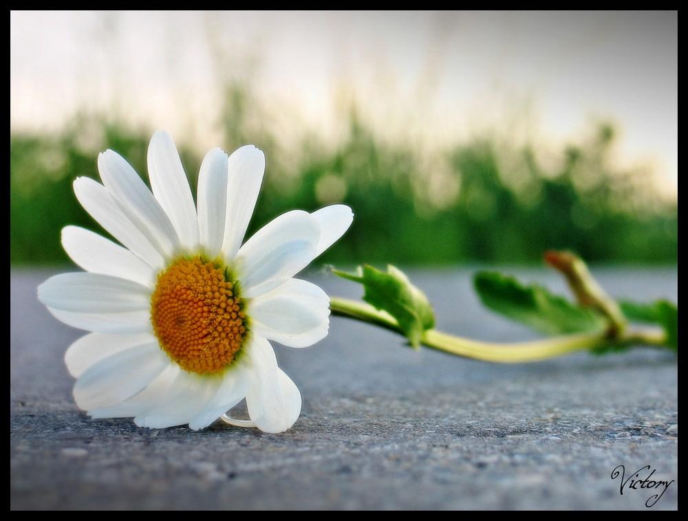Blume - bevor ein Auto es holte...