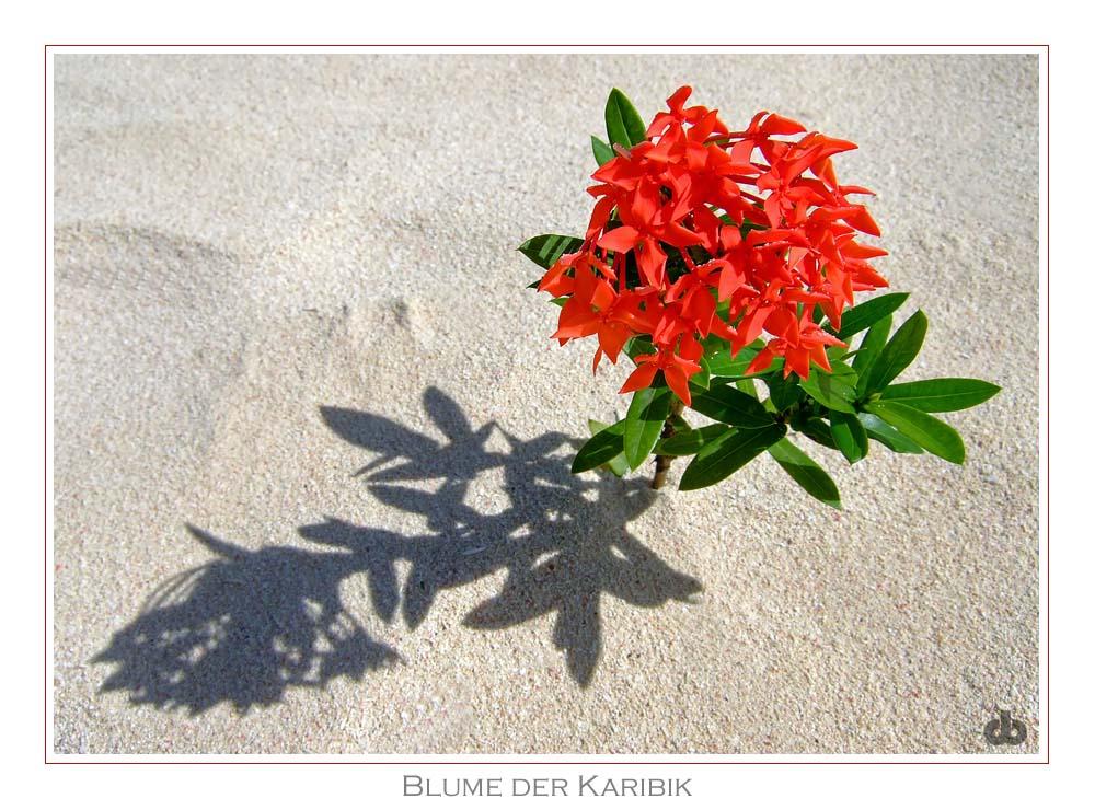 Blume der Karibik