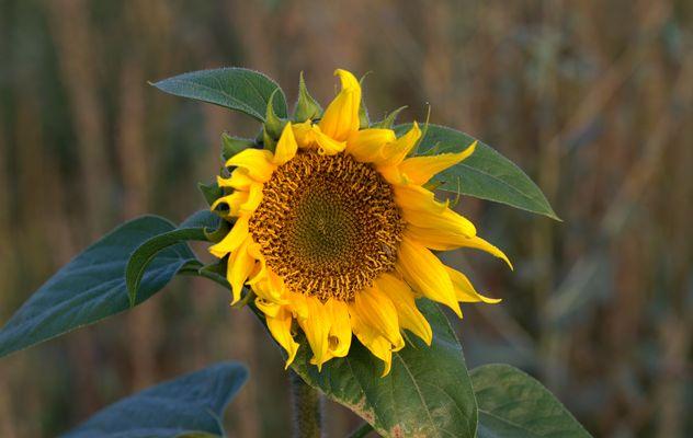 Blume der Sonne....