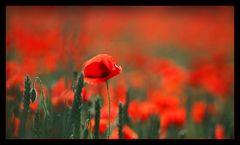 Blume der Träume