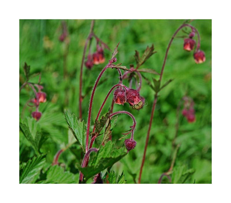 Blume des Jahres 2007