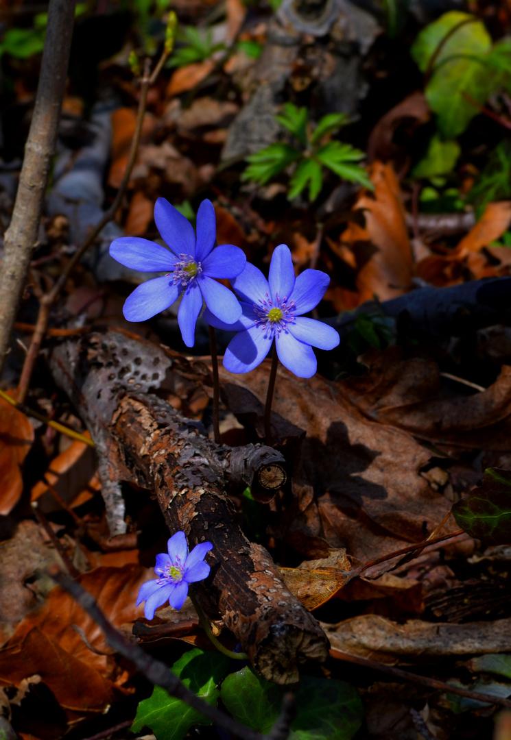 ~ Blume des Jahres 2013 ~