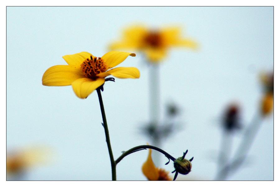 Blume gelb