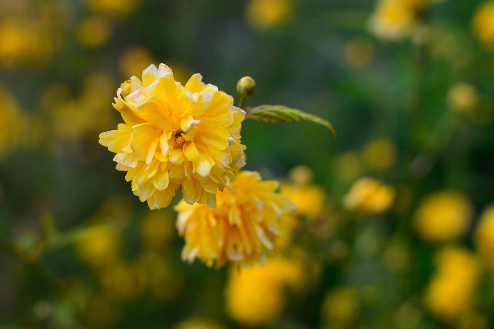 Blume, Gelb