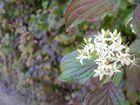 Blume II