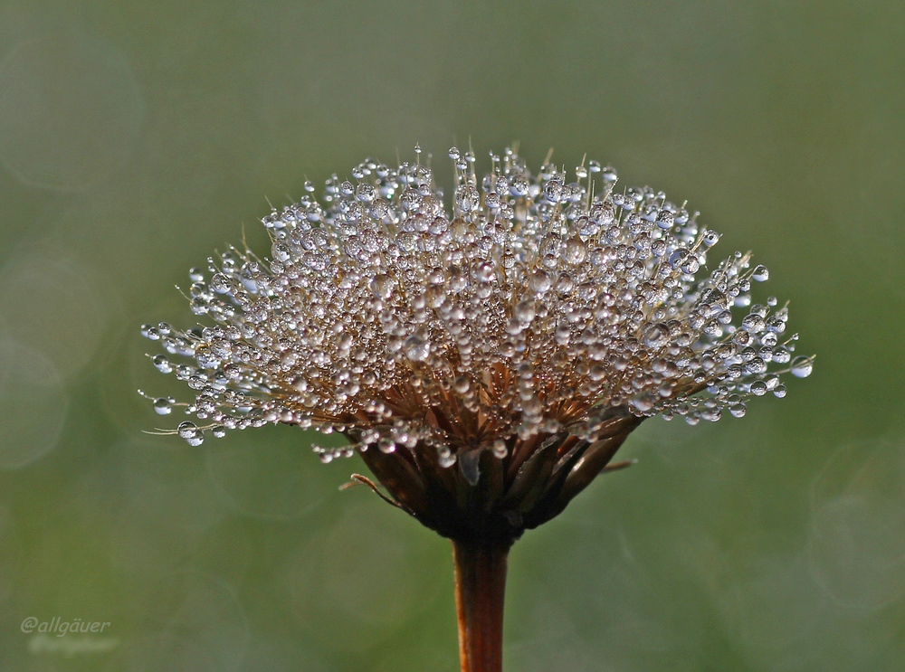 Blume im Morgentau