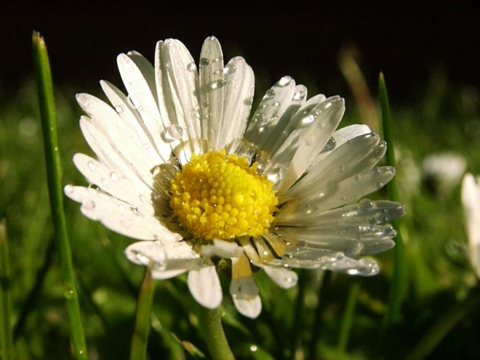 Blume im Sommerregen