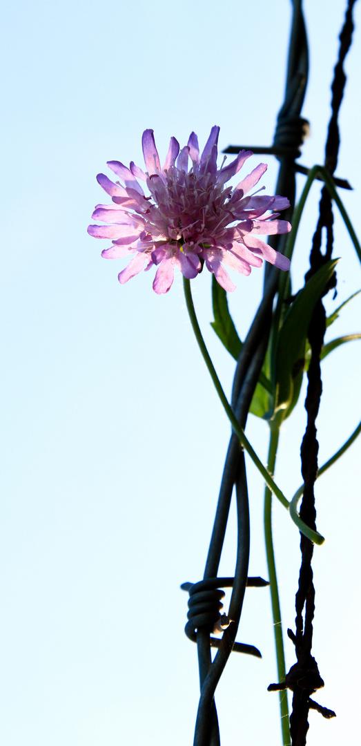 Blume im Stacheldraht