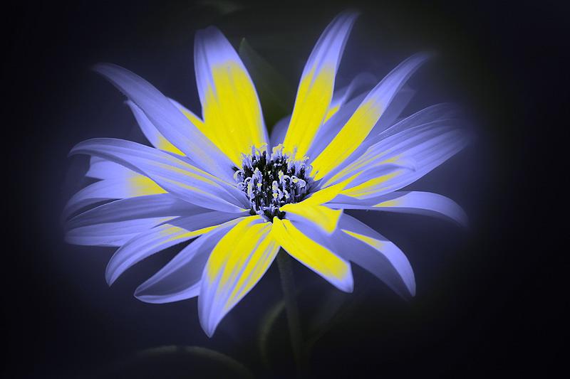 Blume in fremdem Licht...