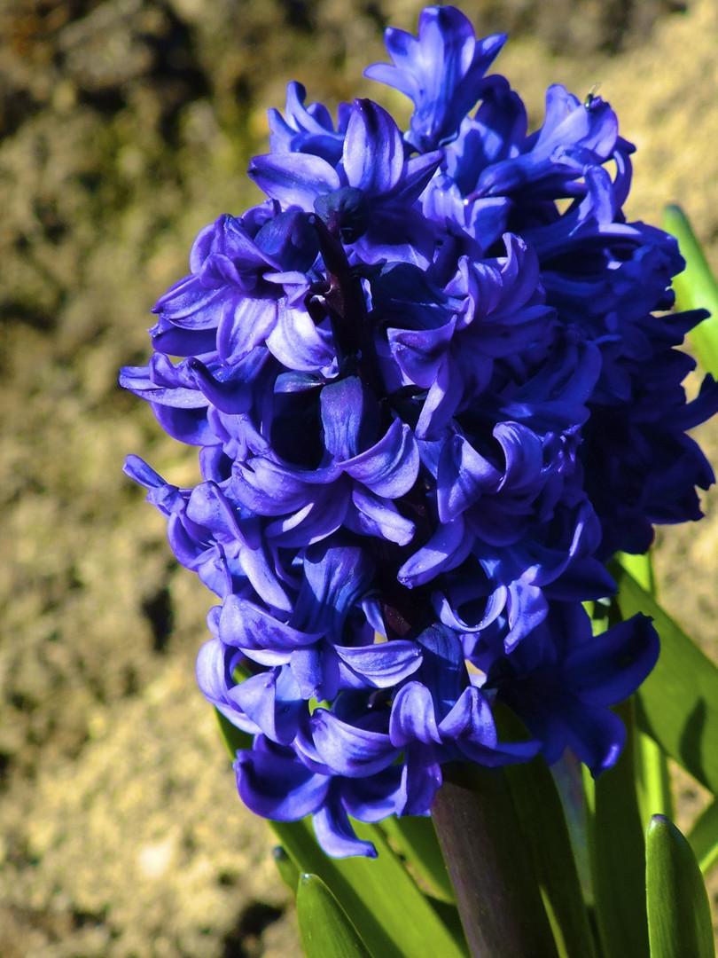 *Blume in Lila