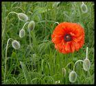 Blume in Nord Schottland