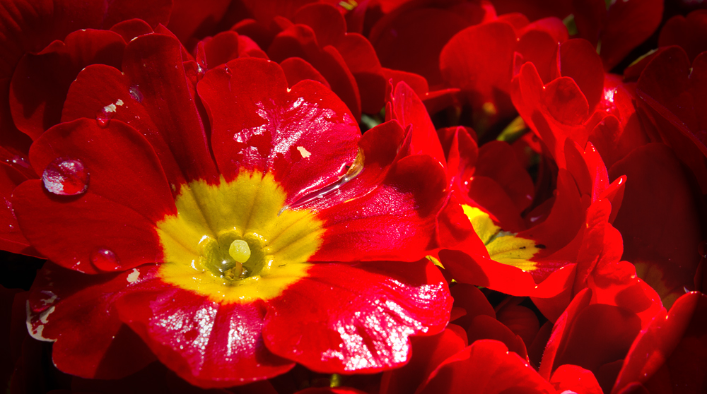 Blume in Rot