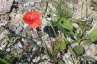 Blume in Steinwüste