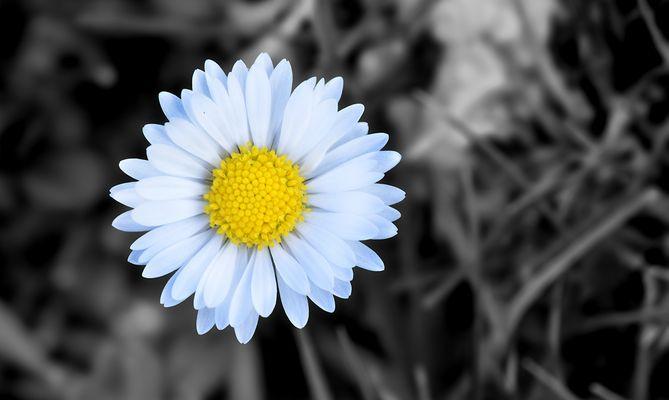 Blume in SW Hintergrund