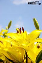 Blume in unserem Garten II