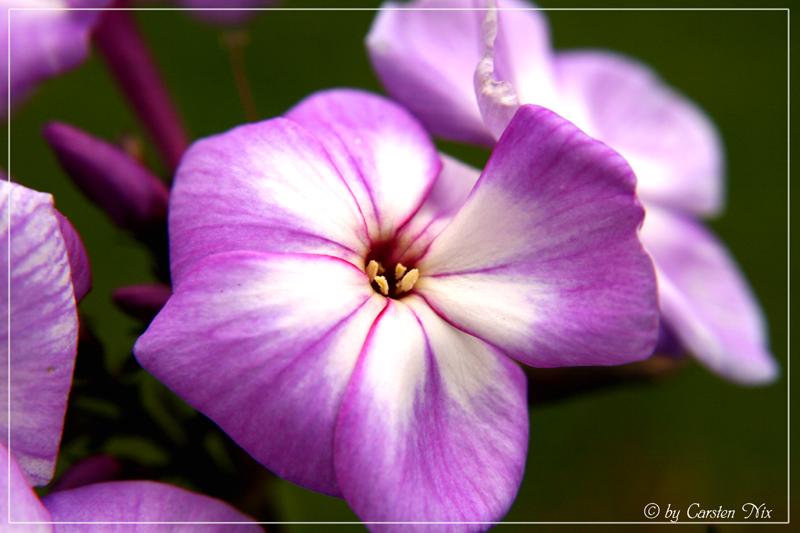 "Blume ""Lila"""