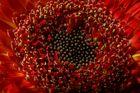 Blume Makro Stacking