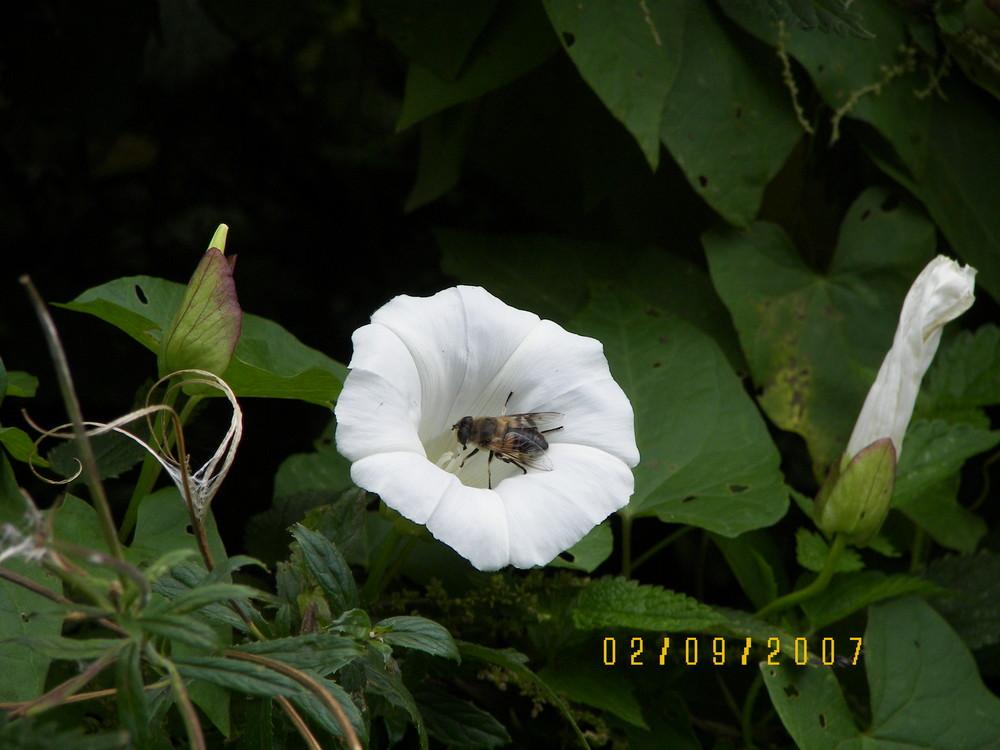Blume mit Hummel im Spätsommer