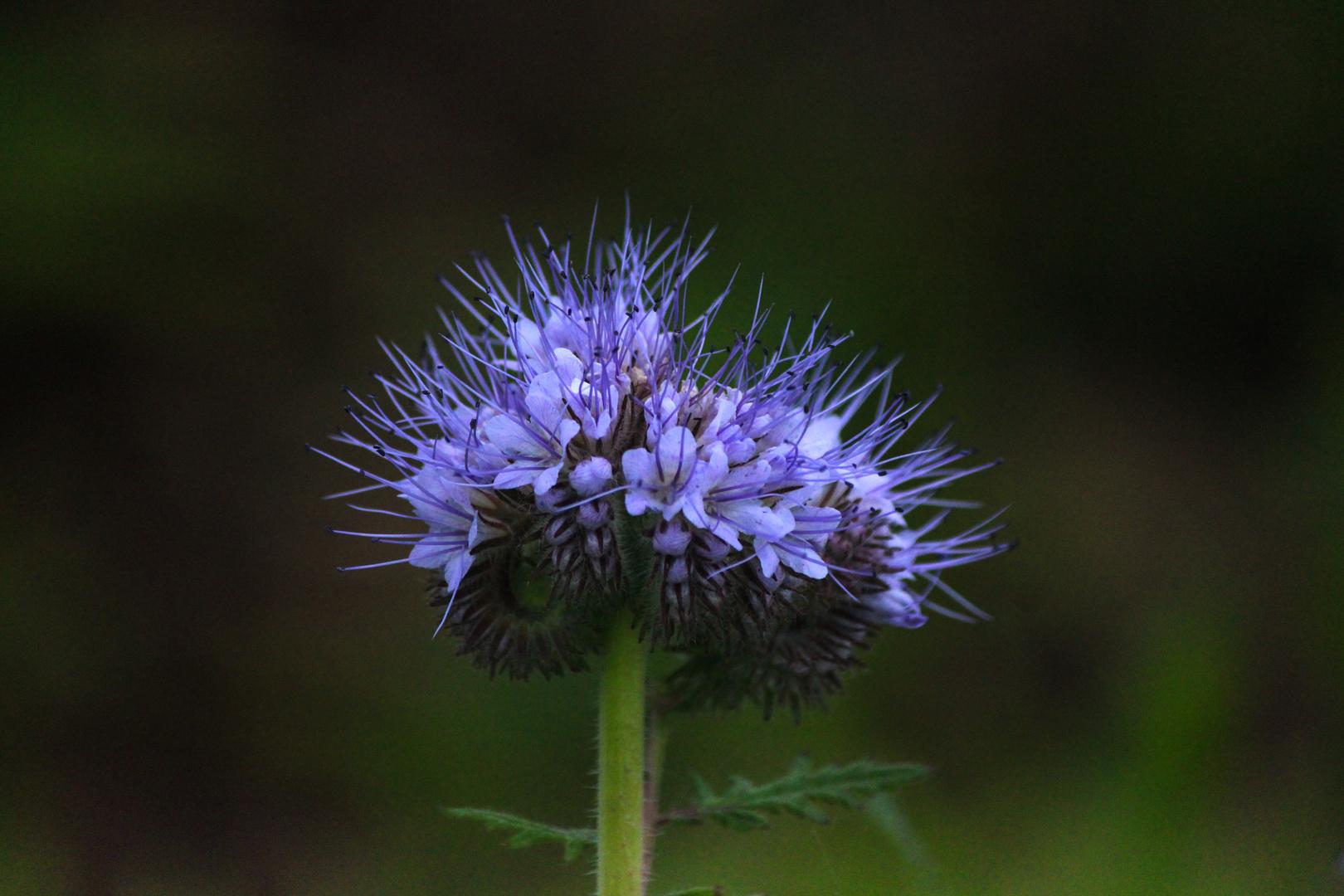 Blume mit langen Blütenstengeln