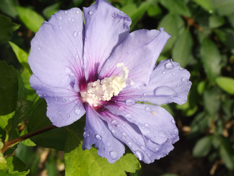 Blume Mit Morgen Tau