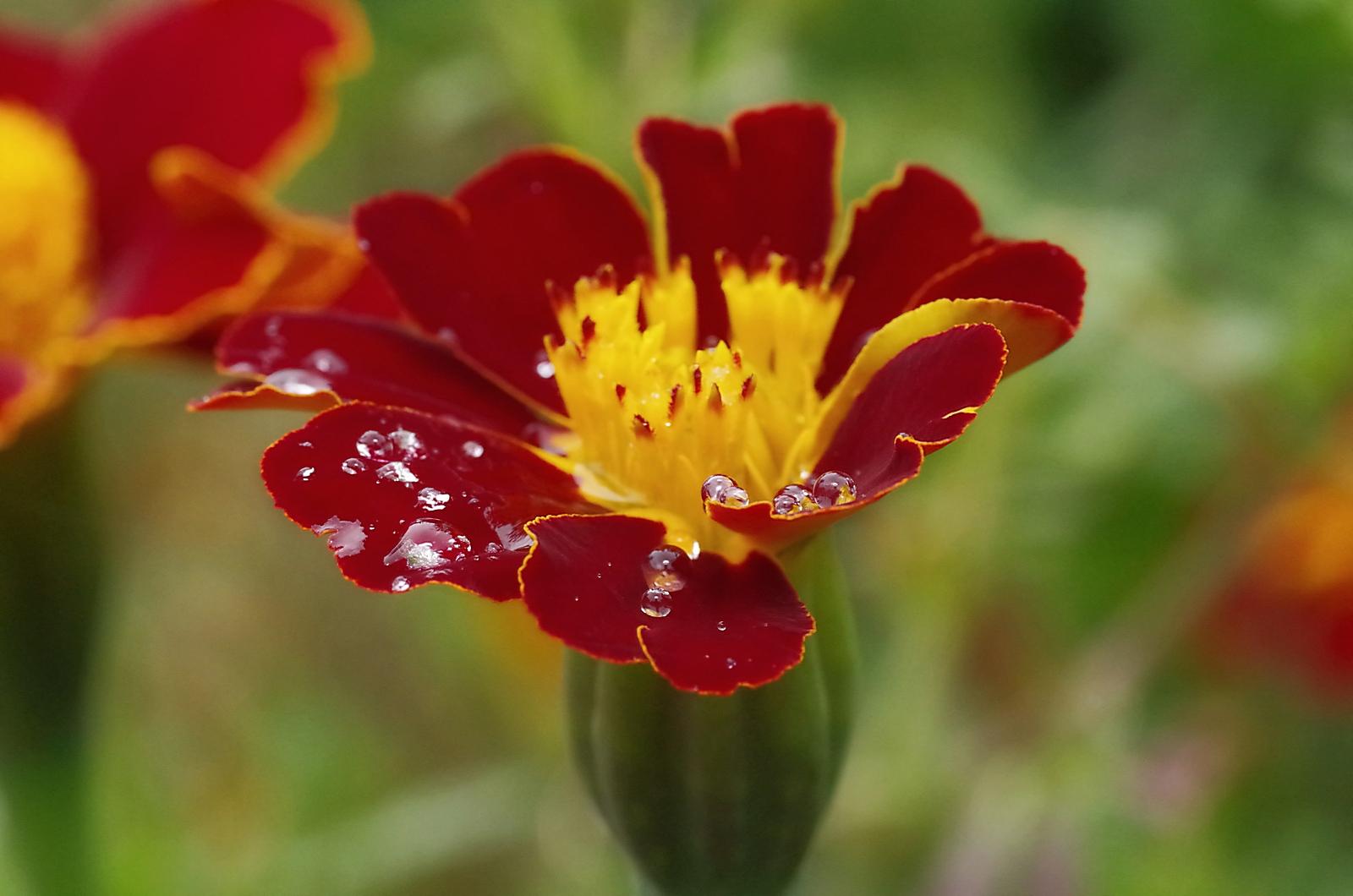 Blume mit Wassertropfen