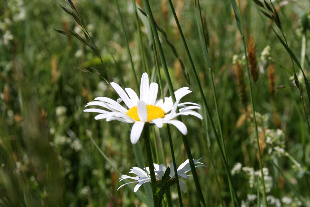 Blume mit Wiese