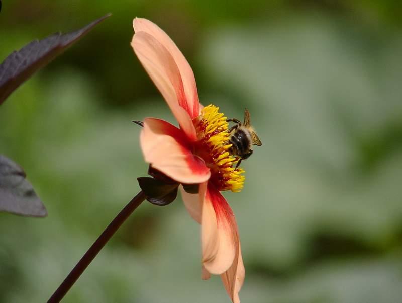 Blume oder Hummel