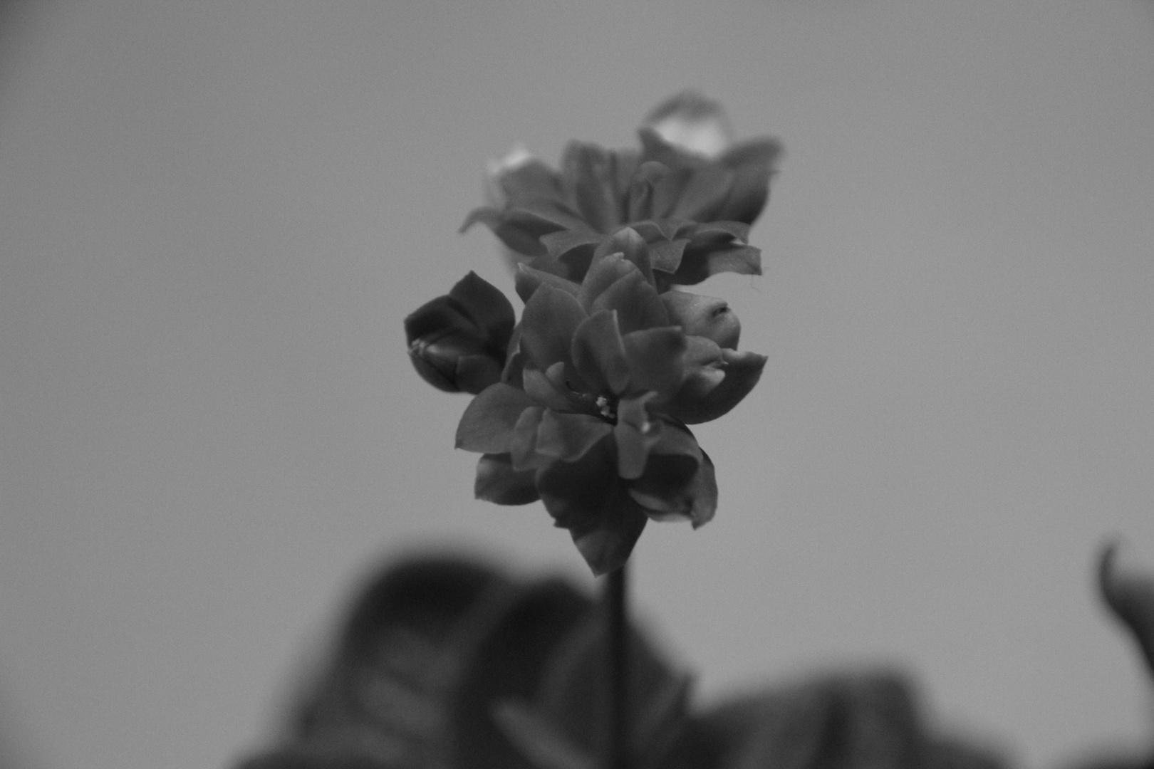 Blume s/w