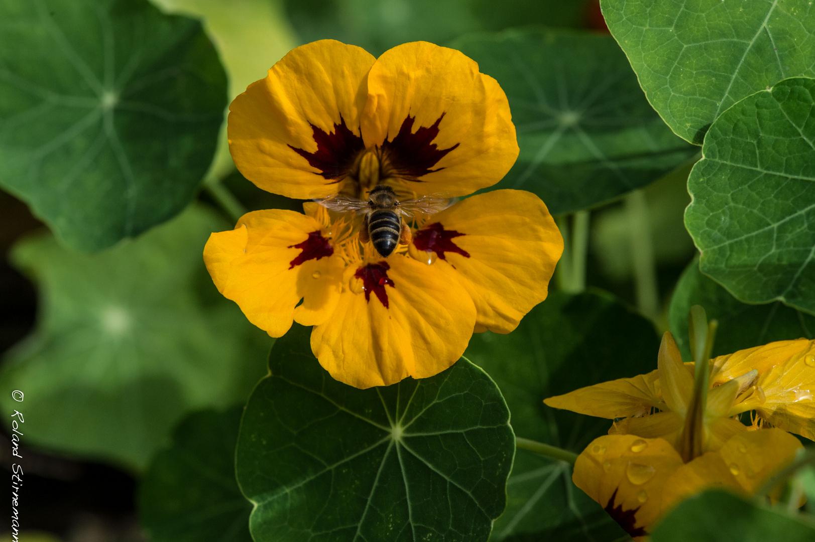 Blume und Biene