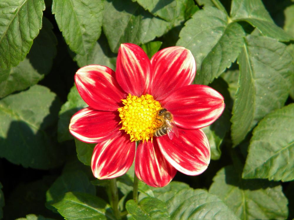 Blume und Biene ;-)