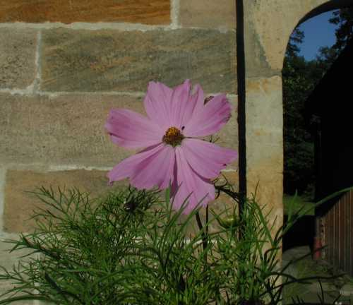 Blume vor Mauer