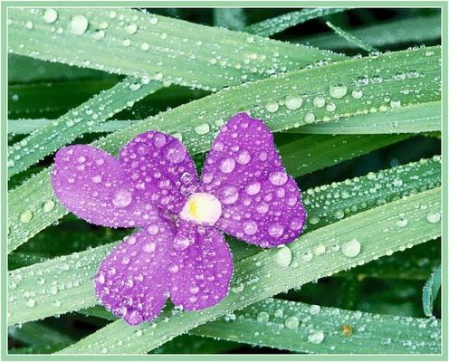 Blume06