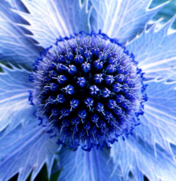 Blume1.1