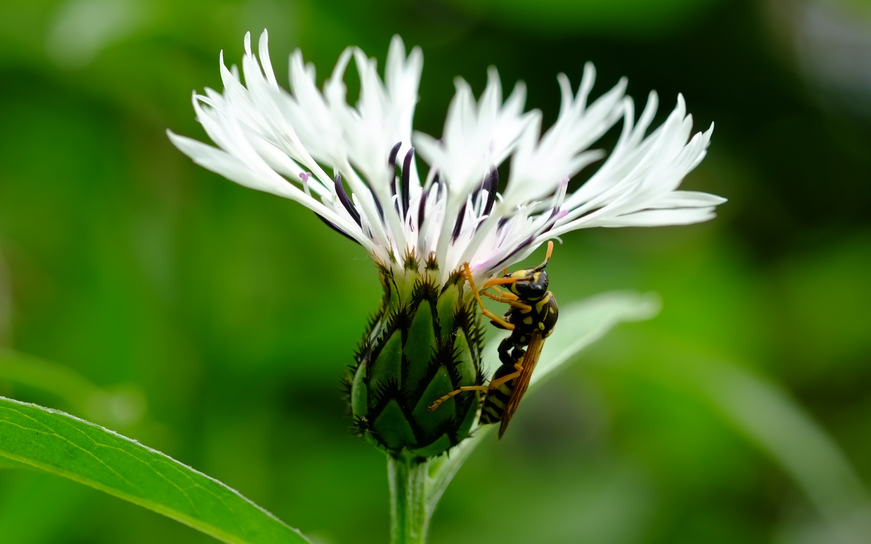 Blume15