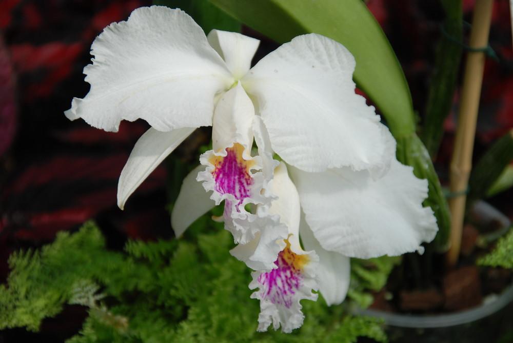 Blume17