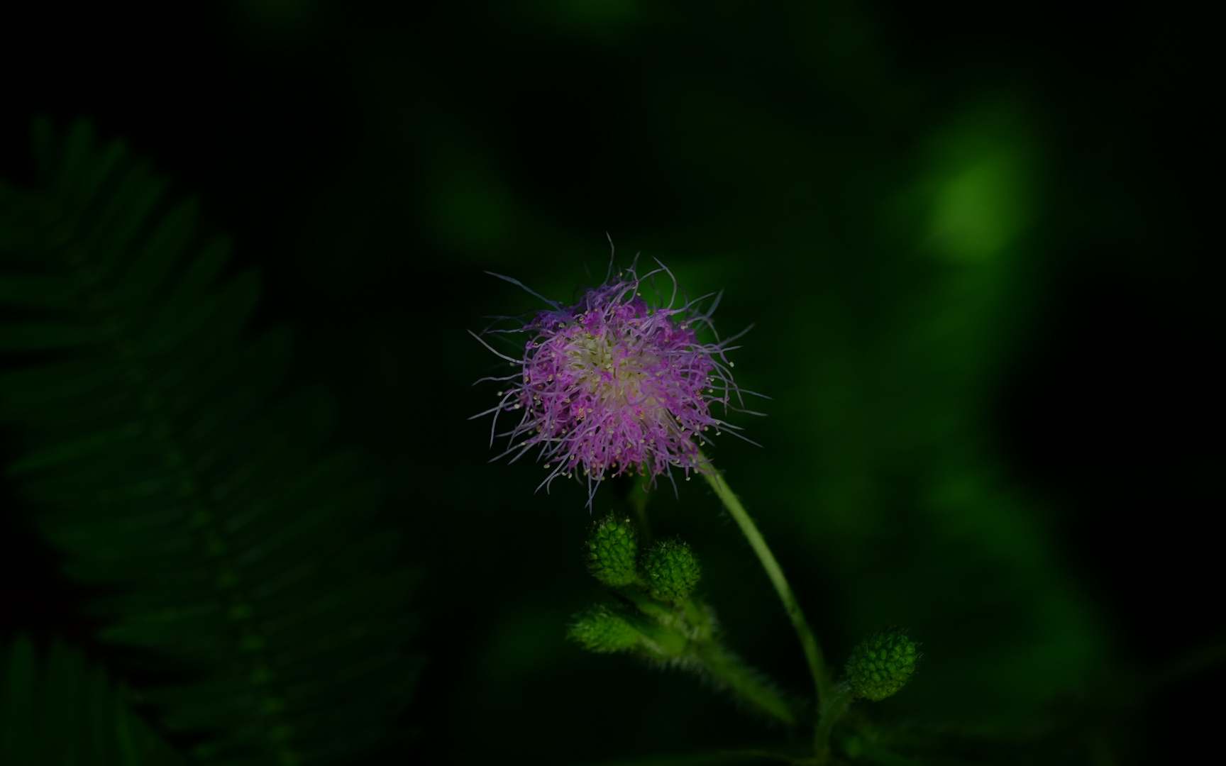 Blume7
